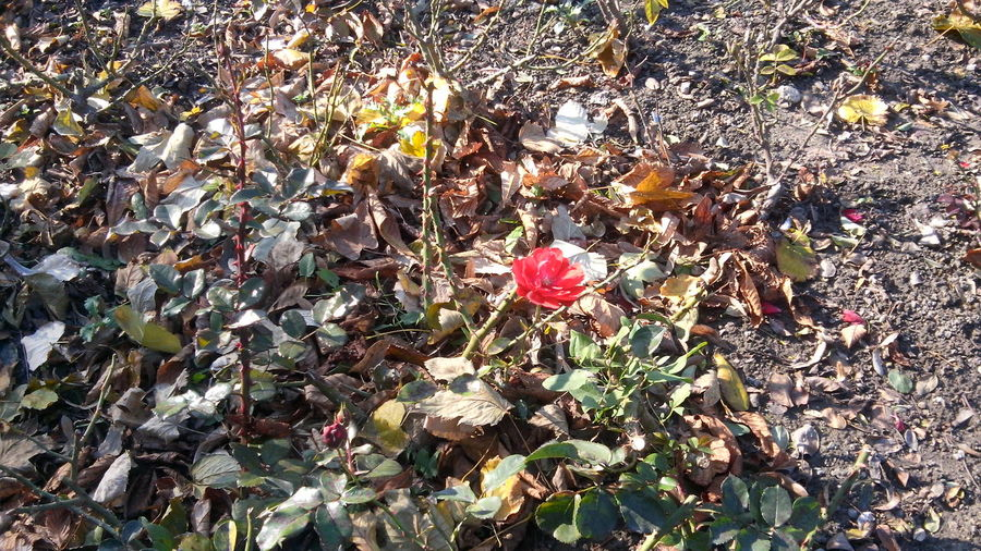 Autumn Beauty In Nature Close-up Day Field Flower Flower Head Fragility Freshness Growth Happiness Of Growth High Angle View Leaf Life Against Aging Life Against Death Nature Nature Colors No People Optimism Outdoors Petal Plant Red Survival Vctory Of Life
