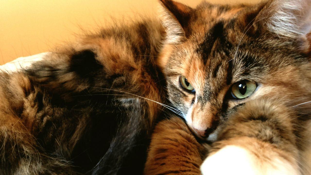 Animals Domestic Cat Pets Always Be Cozy Sleepy Cat Cateyes