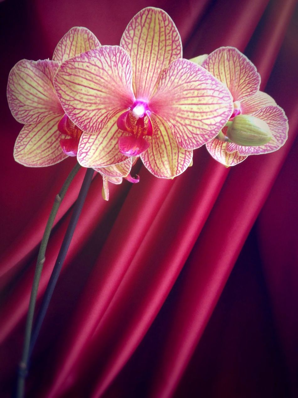 Orchid Orchid Blossoms 42/365 One Year Project 2017 February 11 Flower No People Petal Close-up Red Fragility Flower Head Nature Blooming Beauty In Nature Freshness Indoors  Day