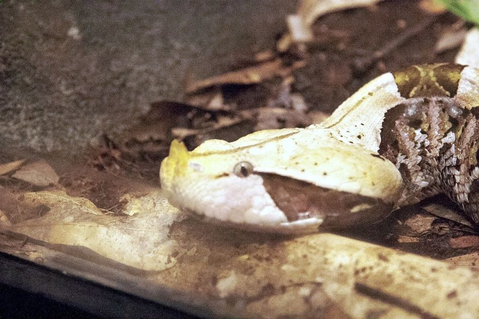 Amphibian Animal Animal Themes Animals Close-up Day Elevated View Gaboon Viper Horned Nature No People Outdoors Posion Reptile Reptiles Selective Focus Snake Zoo Zoo Animals  Zoology