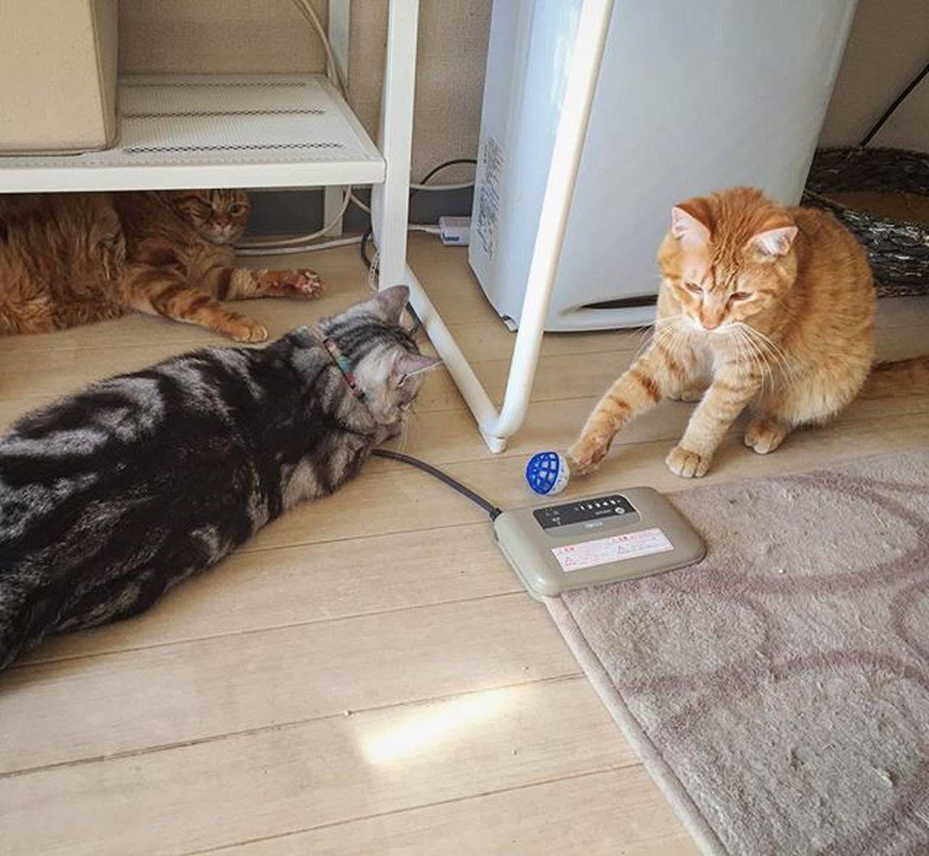 アメリカンショートヘアー アメショ Americanshorthair ズズ ズズ子 Zuzu ズズっぺ シルバータビー Cat Neko ねこ 猫 ねこ Cats スコティッシュフォールド Scottishfold 茶トラ ロロ Lolo コケティッシュフォールド コケティッシュホールド Piopio Pio ピオ オモチャのボールに興味津々の3ニャンでおはようございます…😆😸👏3匹いると誰かが飽きても…また誰かが遊び出して…ほぼエンドレスで追いかけ回してるよ…💦