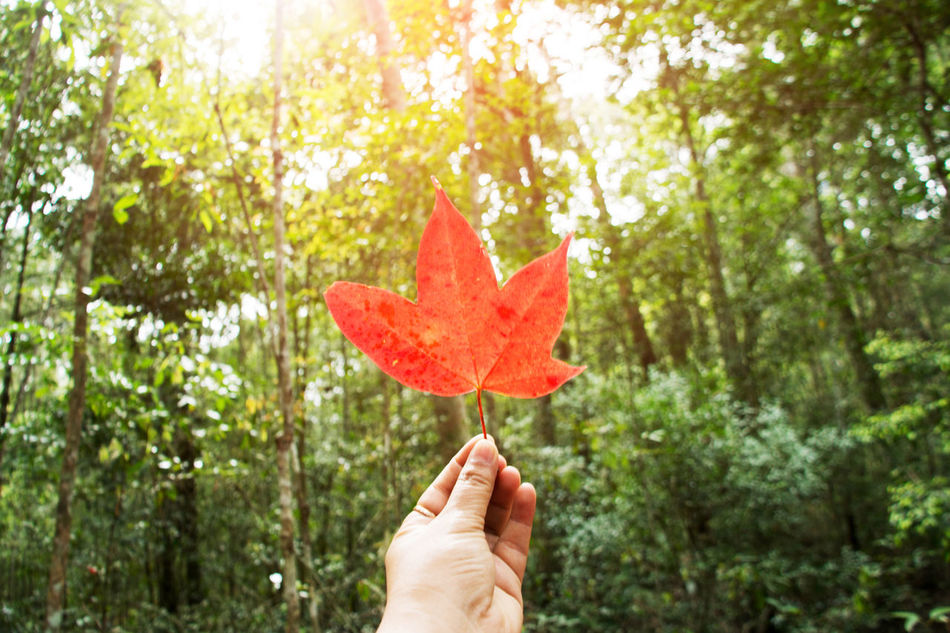 Adult Adults Only Close-up Day Freshness Fruit Holding Human Body Part Human Hand Leaf Leaves Maple Maple Leaf Maple Leafs Nature One Person Outdoors People Real People Red Tree