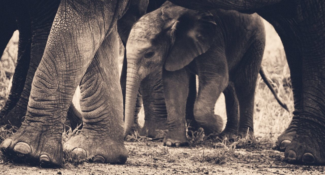 Elephant Calf With Family Walking On Field