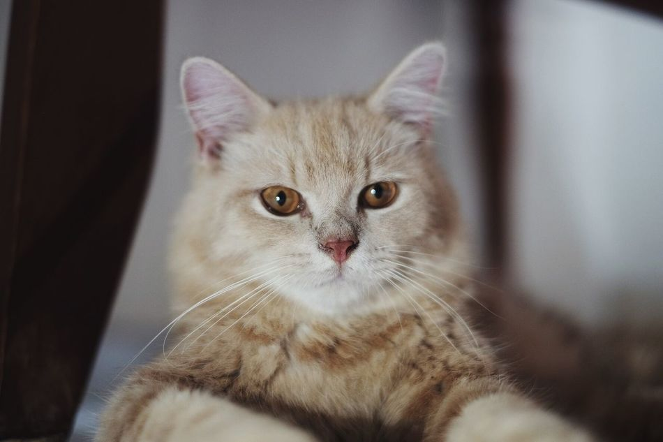 Kucing Domestic Cat Pets Domestic Animals Feline Animal Themes Mammal Whisker One Animal Looking At Camera Indoors  Portrait Focus On Foreground Close-up No People Day