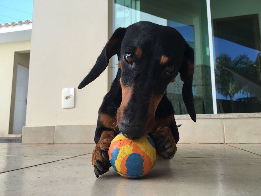 Dog Dogs Dog Love Puppy Daschund Teckel Sausagedog Sausage Hanging Out That's Me Relaxing Brazil Goiás State Goias Brazilian Hi! Animals Play Playing Playground Playtime Play Time Play With The Animals
