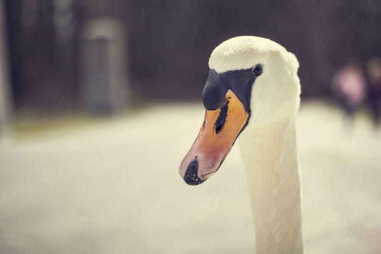 Animals Beak Beauty Beauty In Nature Bird Birds Calm Close-up Contrast EyeEm Best Shots EyeEm First Photo Nature Nature Photography Nature_collection One Animal Orange Portrait Relaxed Swan Swan Collective Swans Tranquil Scene Tranquility White White Bird