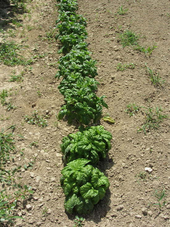 Array of different variety of basil in the garden . Tuscany, Italy Agriculture Array Basil Cultivated Field Flavorful Food Food Staple Garden Green Herb Homegrown Produce In A Row Ingredient Leaf Mediterranean Cuisine Organic Pesto Pasta Plant Pungent Scented Summer Tuscany Vegetable Vegetarian Food