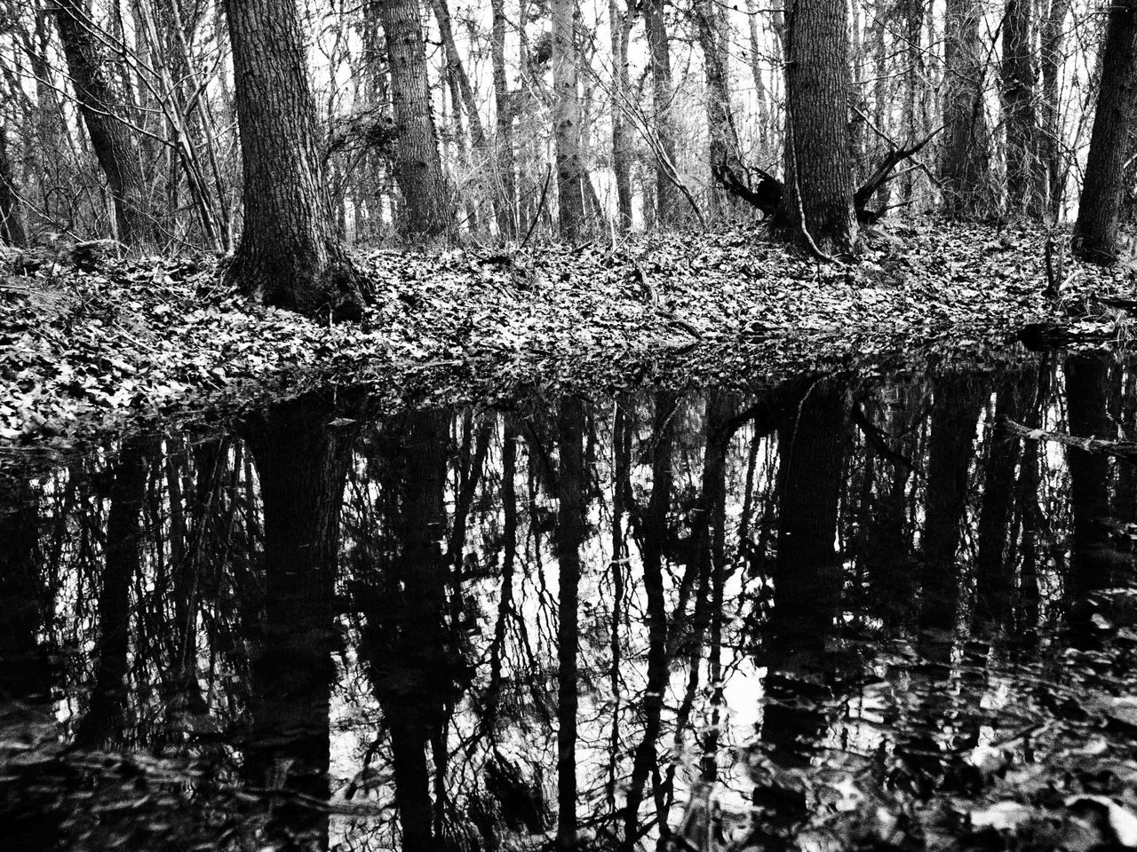 tree, tree trunk, forest, reflection, nature, water, tranquility, day, outdoors, woodland, no people, beauty in nature, lake, scenics