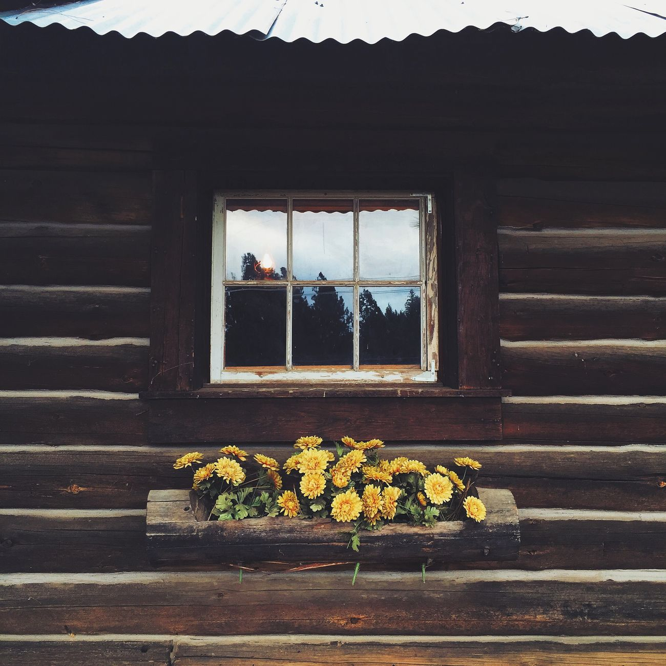 First Larsen family cabin. 1860 Plastic Flowers Applehill California Tin Roof Wood Cabin VSCO Vscocam