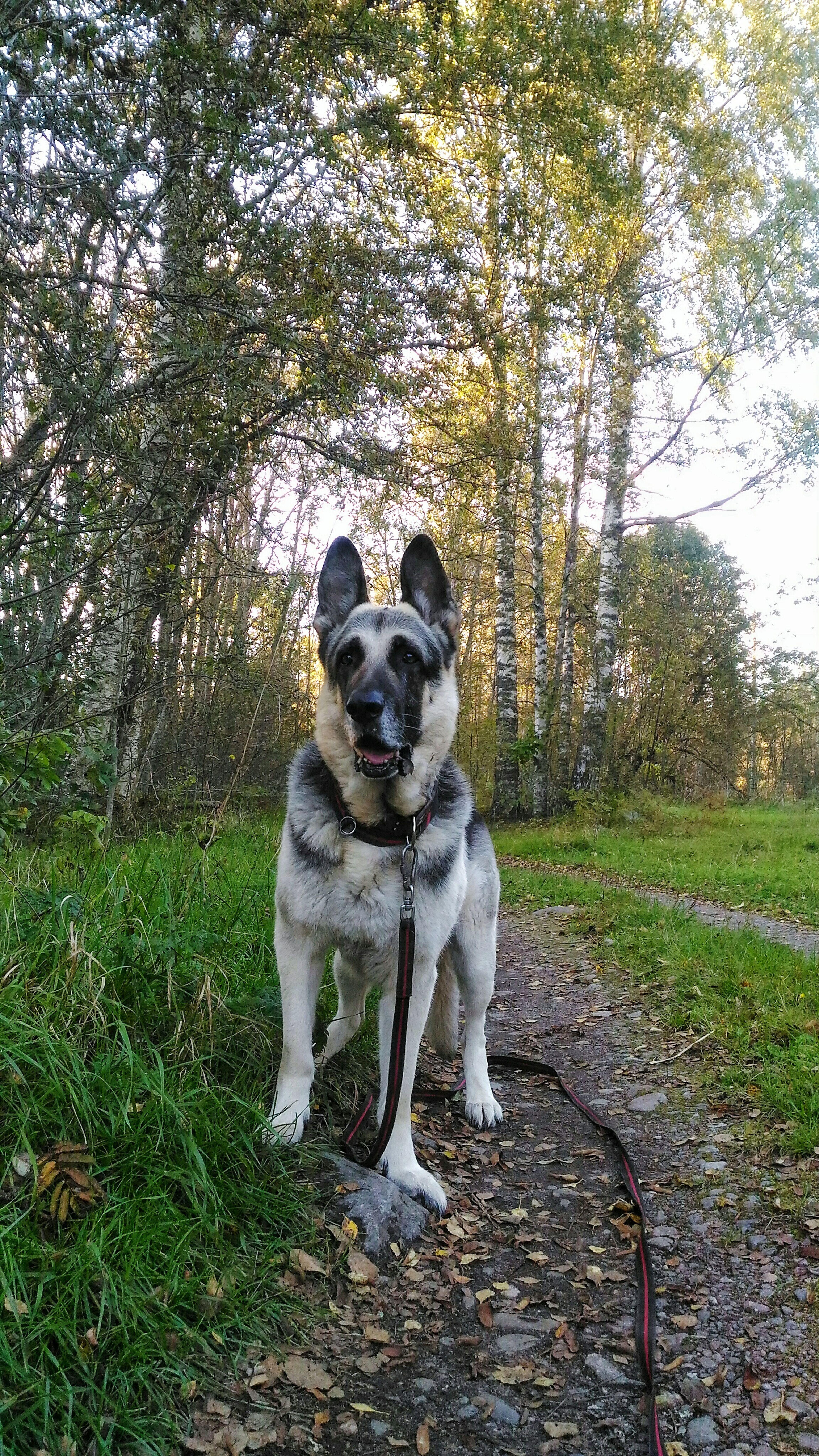 Dog Animal Themes Pets One Animal Looking At Camera No People Shepherd EastEuropeanShepherd Shepherddog HomePet