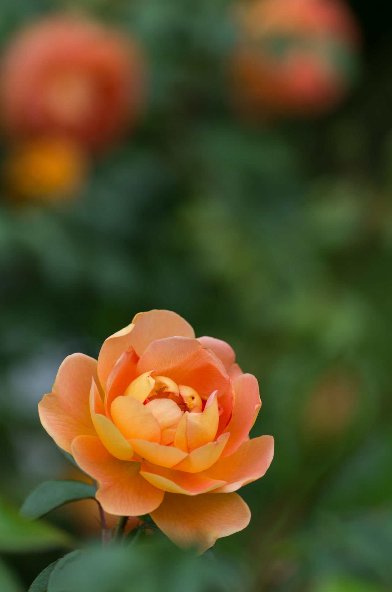 Beauty In Nature Blooming Close-up Day Flower Flower Head Focus On Foreground Fragility Freshness Growth Nature No People Orange Color Outdoors Petal Plant Rose - Flower