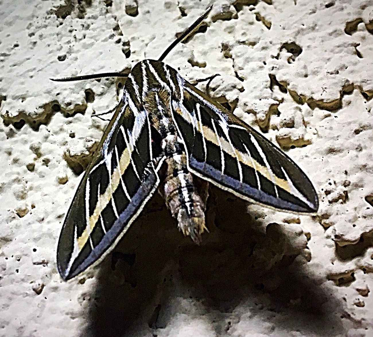 I know, Another Spinx Moth, Sorry I just Love These Buggers, Lol 😊.. Insect Close-up Nature Outdoors Spinx Moth Moth IPhone Photography Night Photography Night Creatures Beauty In Nature Beauty At Night Insect Photography Amazing