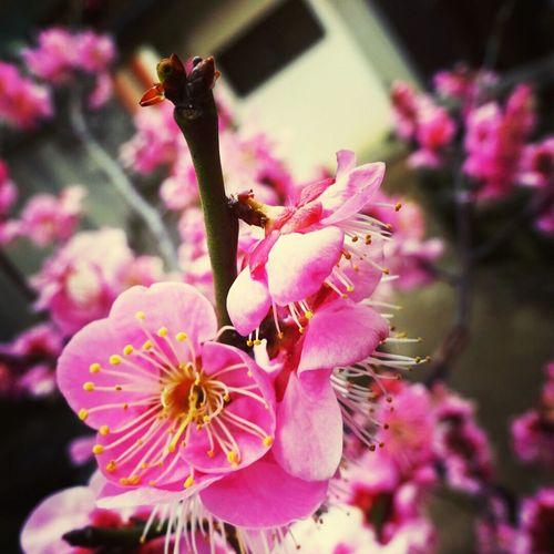 北野天満宮 京都 卒業旅行 梅苑 Kyoto Kitanotenmangu Ume Plum