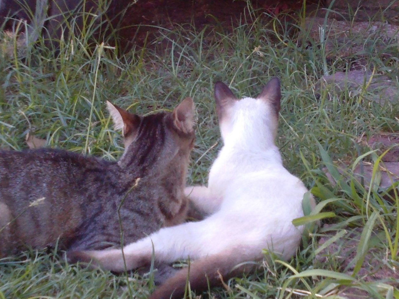 grass, domestic cat, cat, animal themes, feline, relaxation, mammal, no people, lying down, domestic animals, day, outdoors, sitting, pets, togetherness, nature