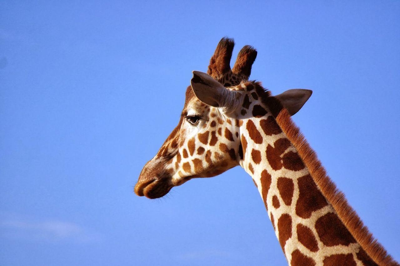 Beautiful stock photos of giraffe, Animal Head, Animal Markings, Animal Neck, Animal Themes