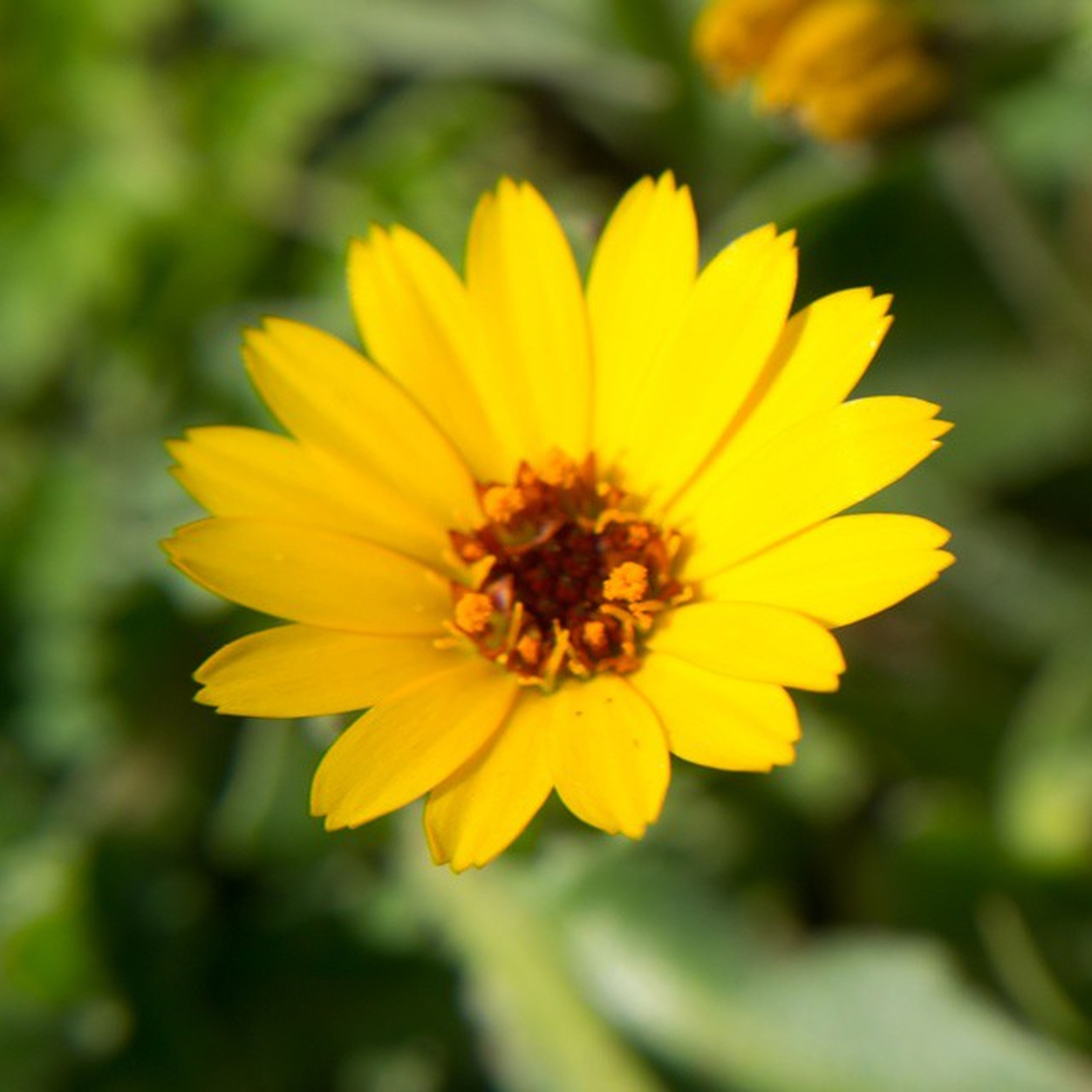 flower, petal, yellow, freshness, flower head, fragility, focus on foreground, close-up, growth, beauty in nature, single flower, pollen, blooming, nature, plant, in bloom, park - man made space, outdoors, day, no people