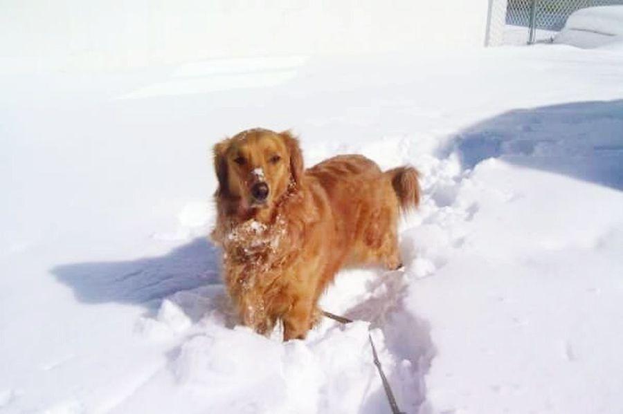 Dog Pets Animal Domestic Animals Snow Outdoors Golden Retriever Pet Doginsnow