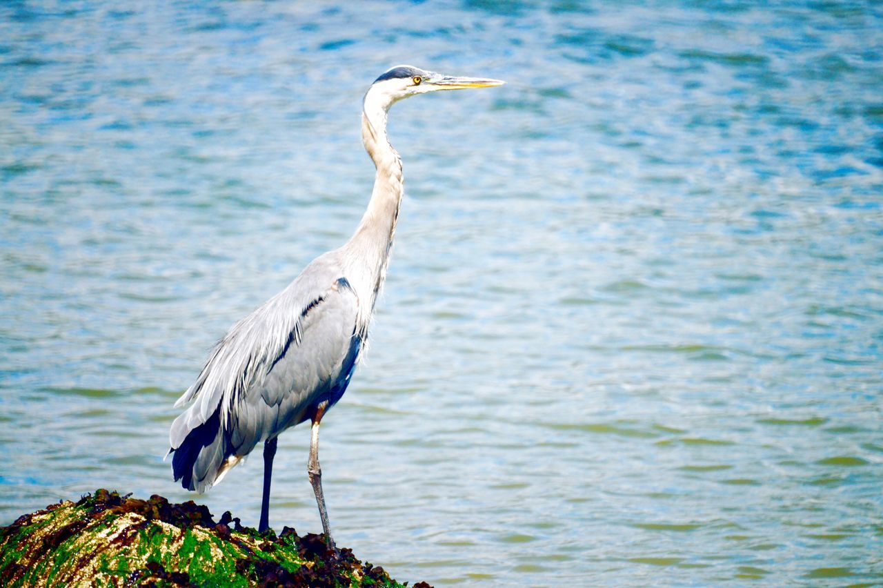 Heron Heron Animal Animals Creature Outdoors Sea Water Ripples Waves Outside Rock Rocks Eeyem