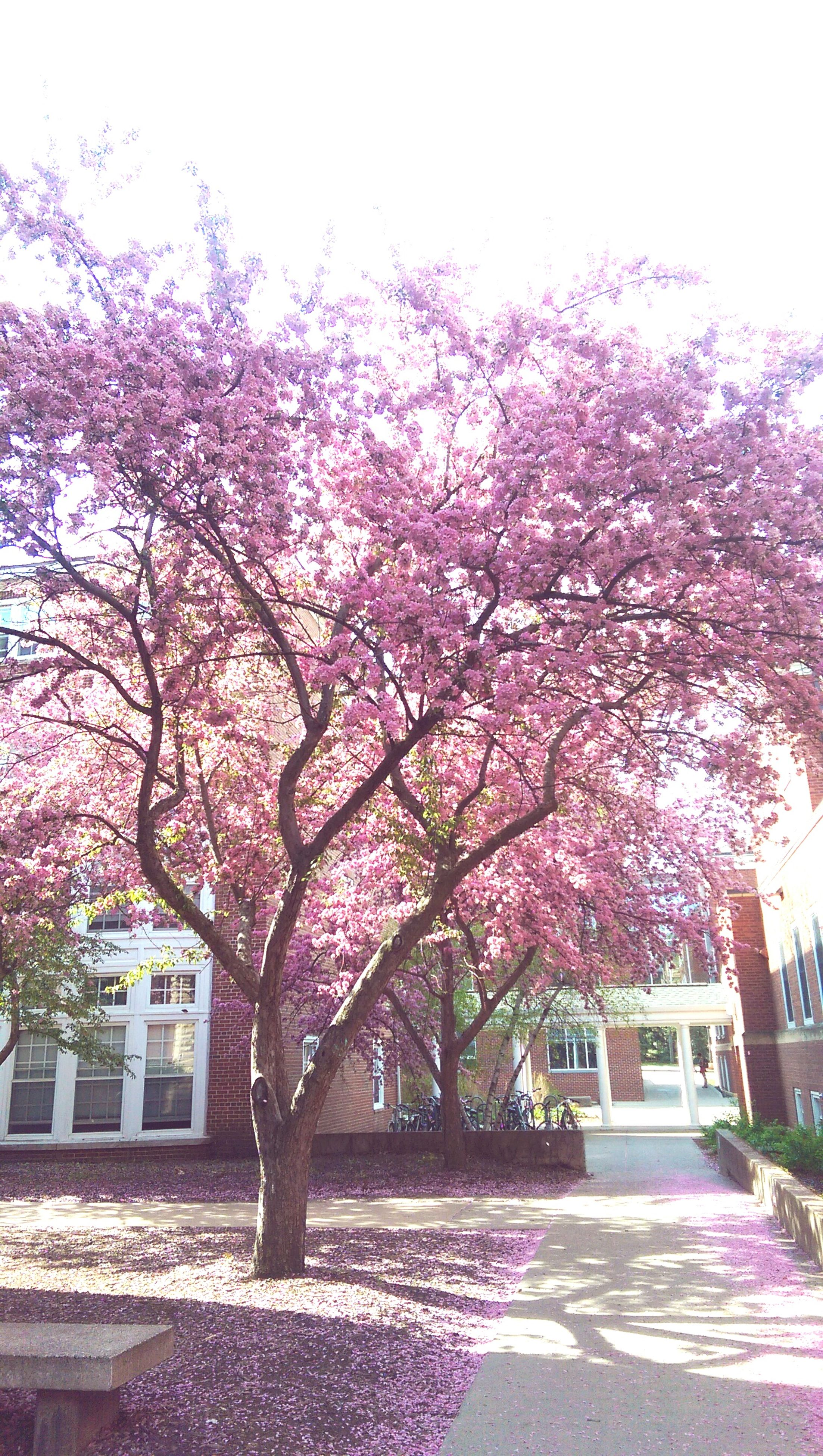 flower, tree, growth, branch, freshness, built structure, building exterior, architecture, pink color, park - man made space, blossom, nature, fragility, beauty in nature, cherry blossom, in bloom, clear sky, cherry tree, day, sunlight