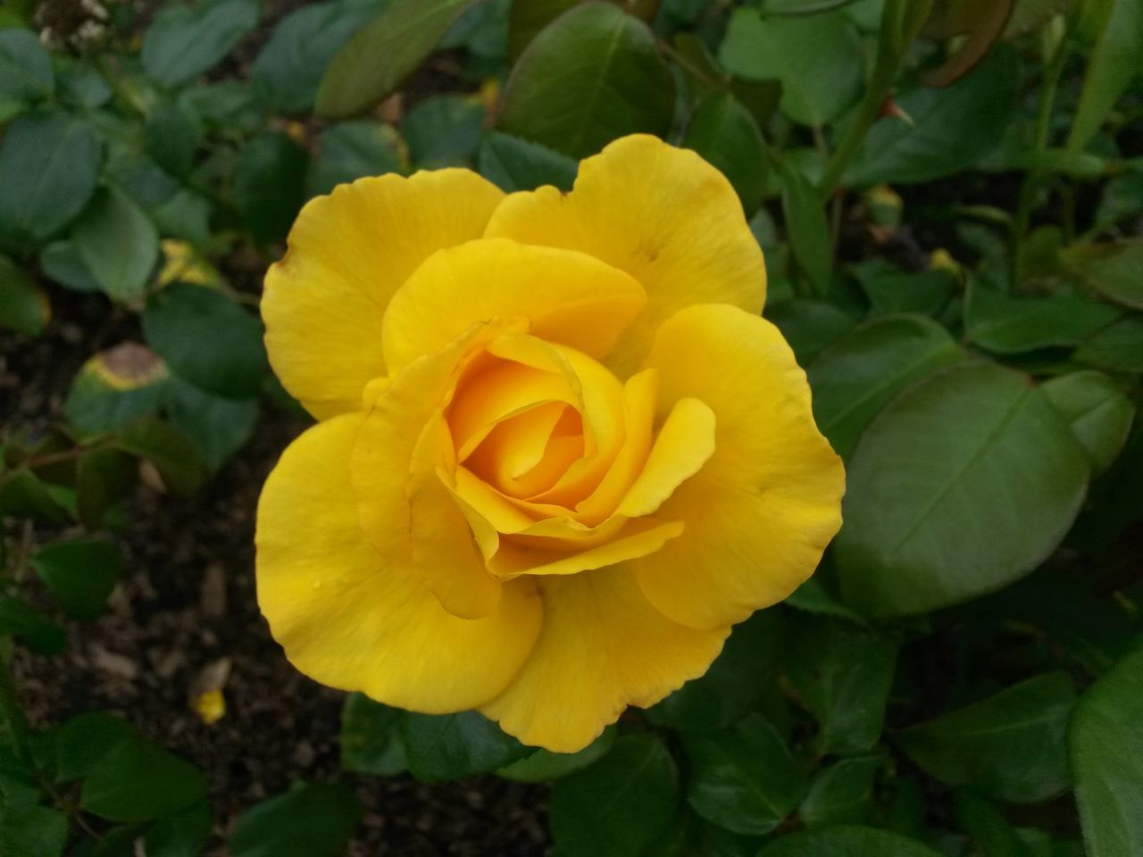 Flower Nature Close-up Beauty In Nature Yellow Flower Head Outdoors Rose - Flower Yellow Flowers Yellow Rose