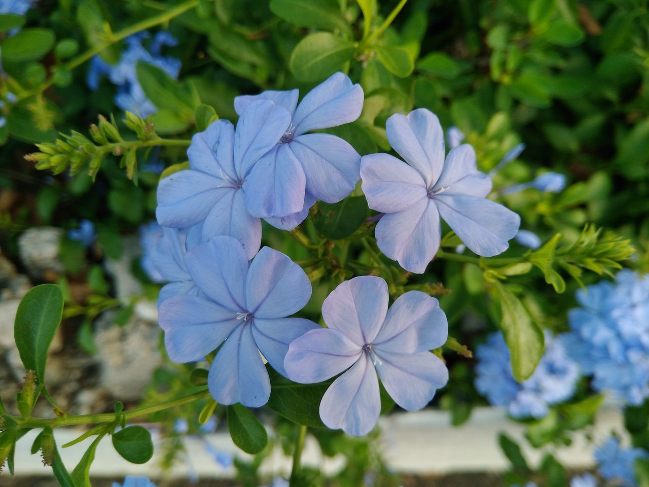 flower, growth, beauty in nature, petal, nature, fragility, freshness, day, plant, flower head, outdoors, blooming, no people, leaf, close-up, periwinkle