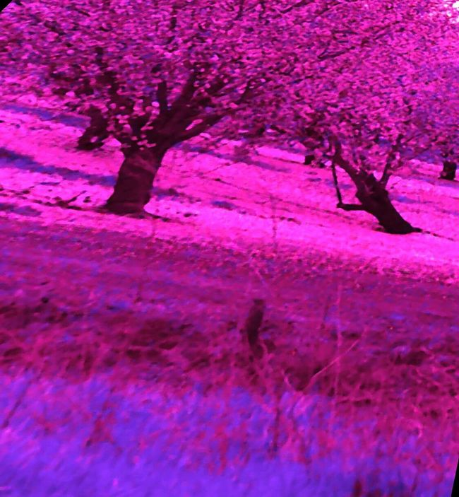 Edited By Me Tree Porn Pink Leaves Rows Of Trees Pink Color Trees And Leaves My Photography Check This Out Landscape #Nature #photography Trees Trees And Nature Grass Check This Out