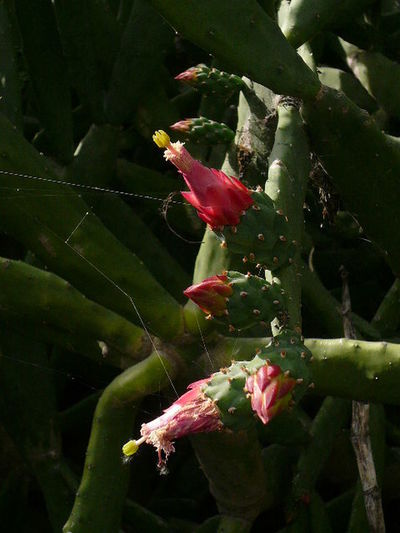 """México"" Flower Nopales Pink Color Spider Web"