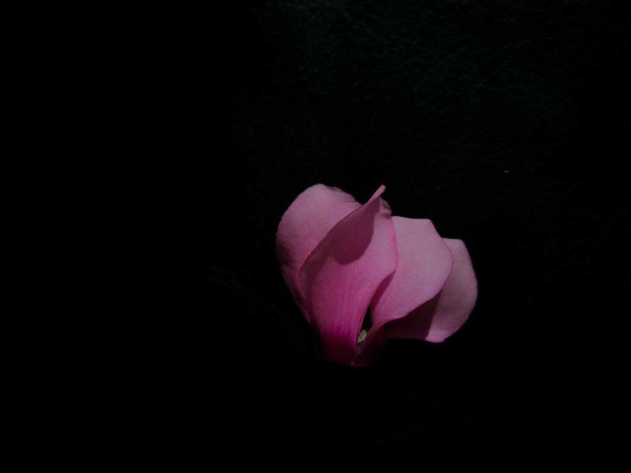 flower, petal, flower head, fragility, freshness, studio shot, beauty in nature, black background, nature, pink color, copy space, rose - flower, no people, close-up, blooming, growth, night, outdoors