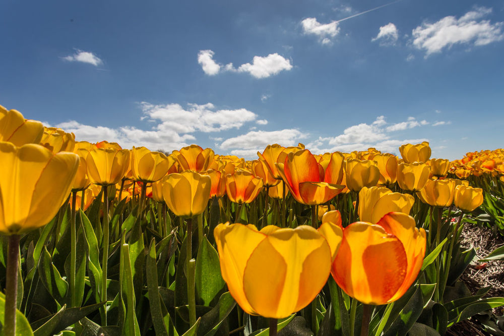 Flowering bulbs field Beauty In Nature Bulb Crop Bulbous Plant Clouds And Sky Day Field Flower Flower Head Fragility Freshness Growth Holland❤ Landscape Multi Colored Natural Parkland Nature No People Outdoors Plant Sky Sunlight Tulips🌷 Yellow