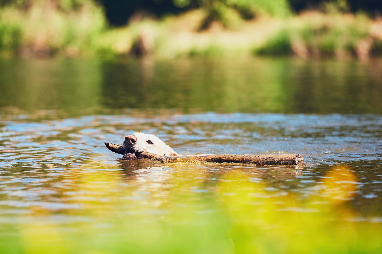 Summer time with dog. Labrador retriever with stick swimming in the river. Activity Adventure Carry Carrying Catch Cute Dog Dogslife Domestic Animals Enjoy Enjoying Life Labrador Labrador Retriever Lake Nature Pets River Spring Springtime Stick Summer Summertime Swimming Training Water
