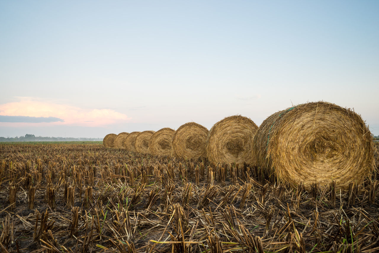 A morning scenery with rolls of haystack in Sungai Besar, Malaysia. Abundance Agriculture Beauty In Nature Cloud - Sky Farm Field Growth Harvesting Horizon Over Land Landscape Nature No People Outdoors Rural Scene Scenics Sky Tranquil Scene Tranquility