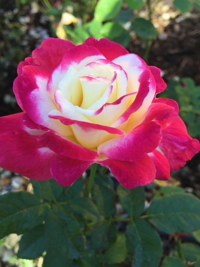 'Double Delight' in all her glory EyeEm Gallery Flowers,Plants & Garden Eyeemroses EyeEm Flower Roses EyeEmBestPics Eye4photography  Eyeemlandscape Flowers My Unique Style RedFlower