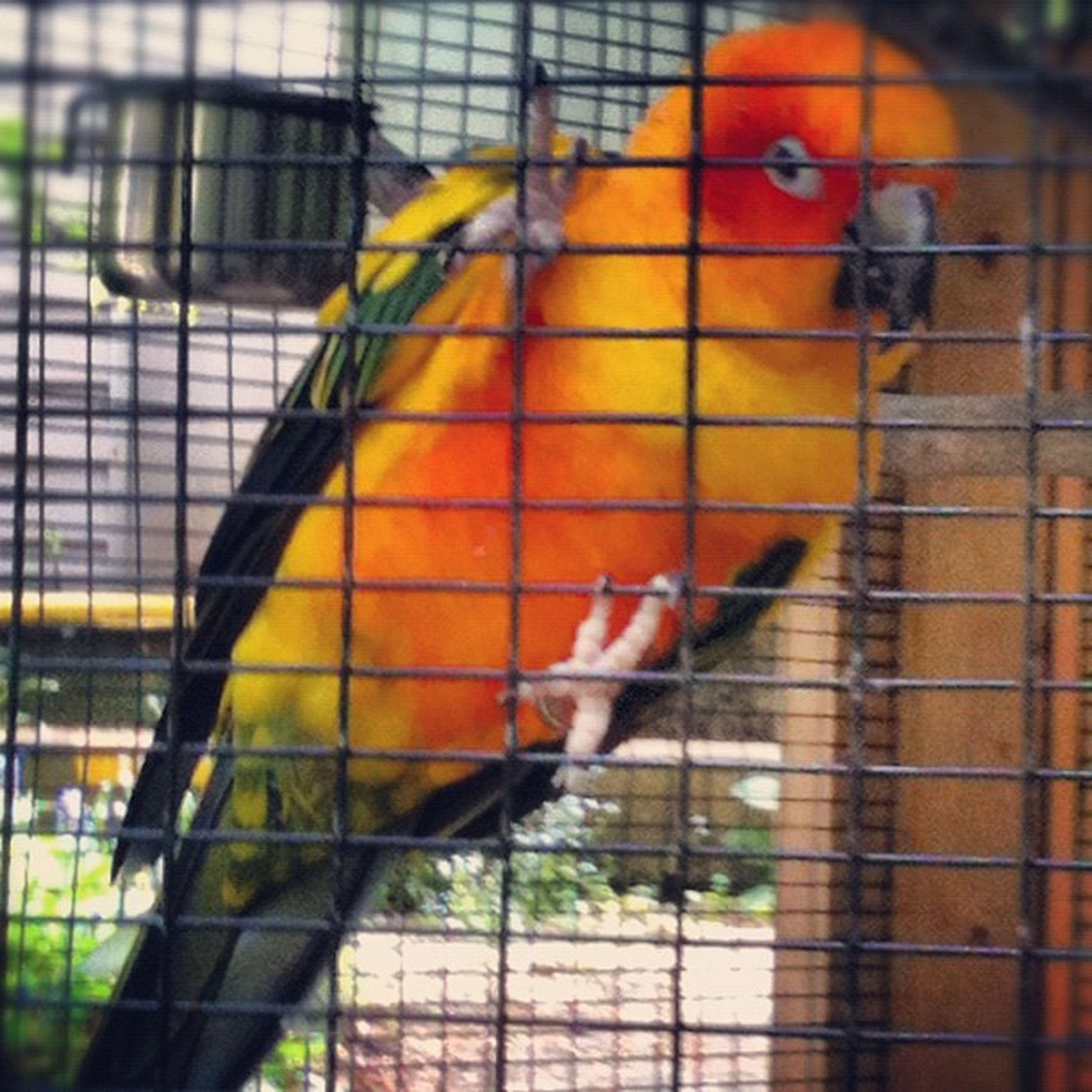 Parrot Pollywantacracker Piratepatch