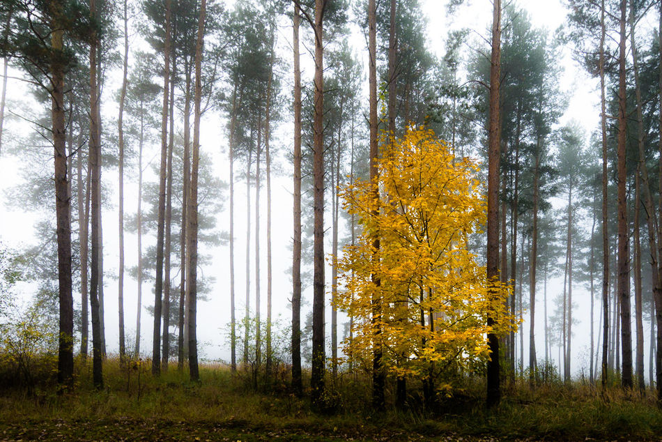 green and yellow and fog / Autumn Beauty In Nature Change Colors Deciduous Tree EyeEm Best Shots Fog Foggy Forest Grass Growth High Landscape Nature No People One Outdoors Pine Tree Plant Tranquil Scene Tree Tree Trunk Wilderness Area WoodLand Yellow The Secret Spaces