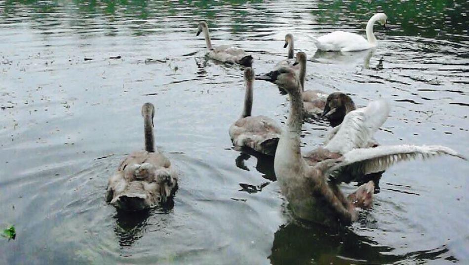 Klimpi-klimperator Schwäne Schwanenfamilie Swantastic Swans EyeEm Best Shots - Nature Swan Schwan  Swans ❤ Moment Moments-2015 Eyeem Awards Moments KLIMPI KLIMPERATOR