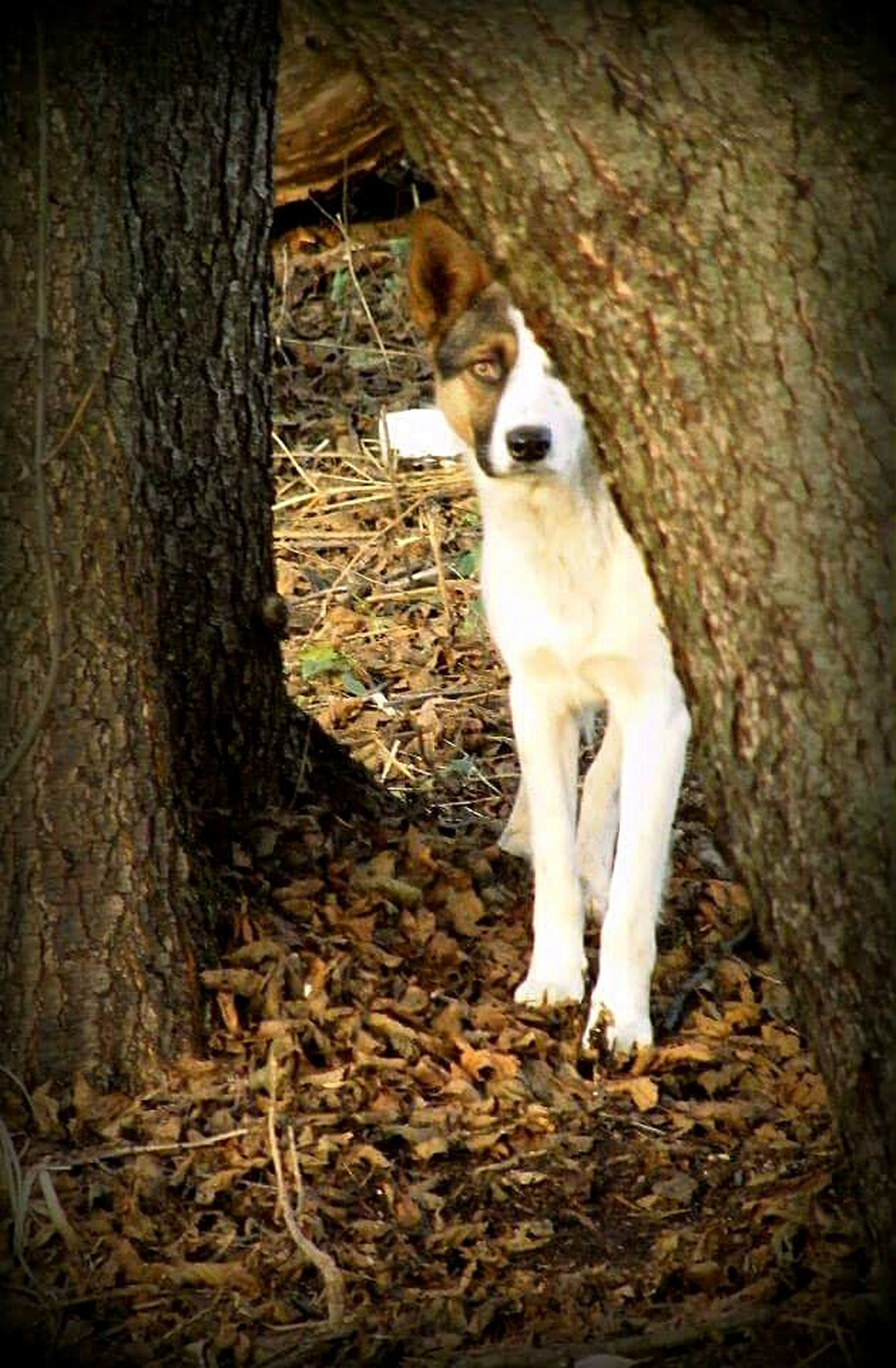 animal themes, domestic animals, mammal, one animal, pets, dog, sitting, standing, full length, young animal, zoology, white color, front view, portrait, looking at camera, outdoors, day, no people, vertebrate, field
