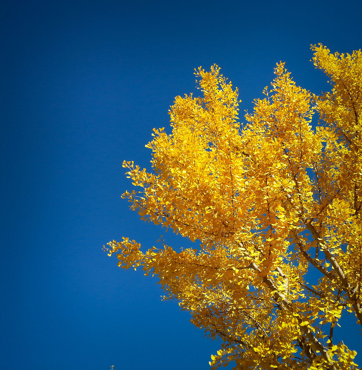 tree, blue, growth, low angle view, clear sky, nature, beauty in nature, branch, day, flower, outdoors, no people, sky, yellow, freshness, close-up