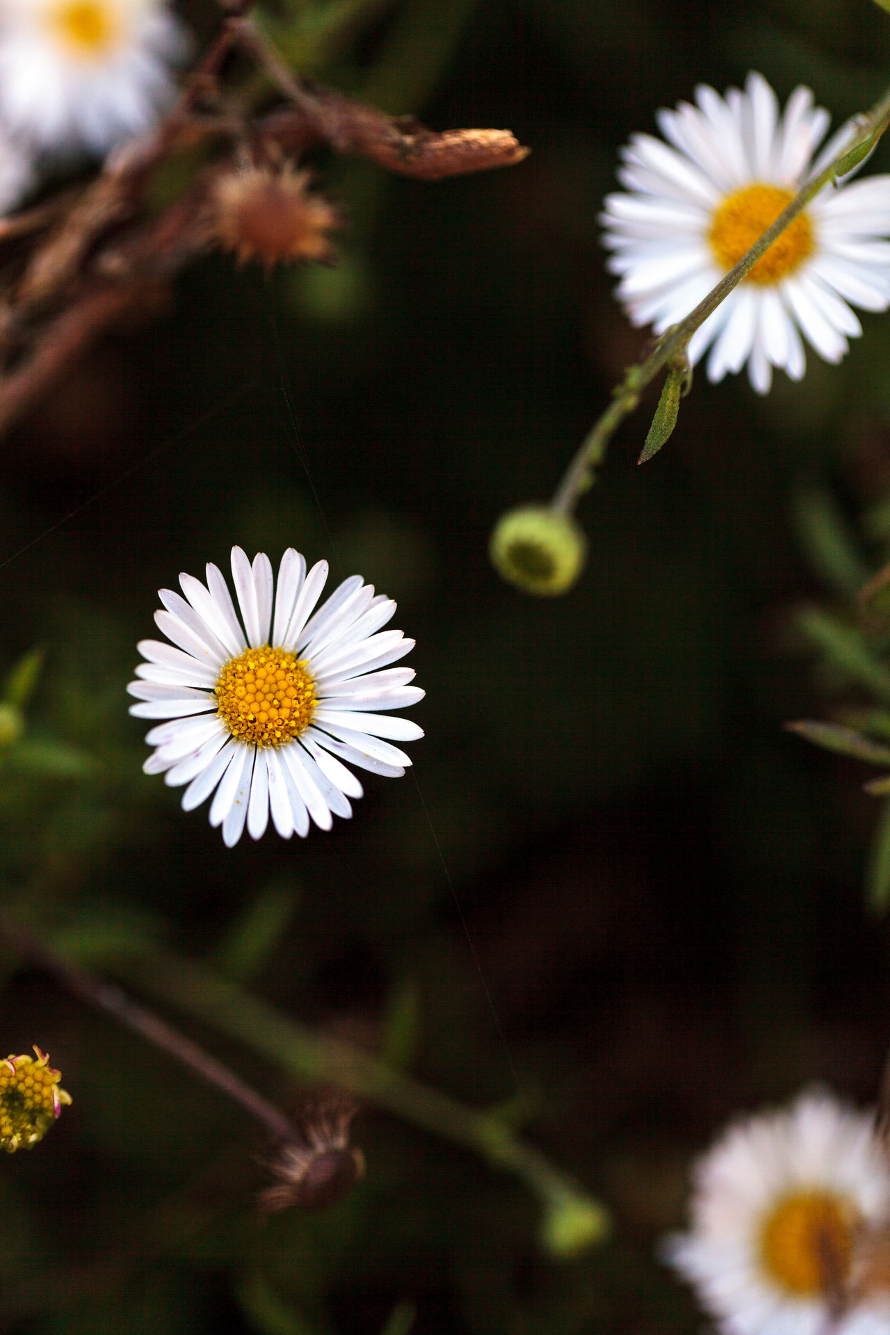 Tiny white fleabane daisy Erigeron flower blooms on a green background in a garden in summer Beauty In Nature Bloom Blossom Botany Close-up Daisies Daisy Erigeron Fleabane Flower Fragility Freshness Growth In Bloom Nature Petal Pollen Season  Softness Springtime Stamen Stem White White Color