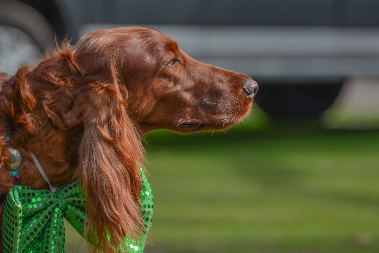 Animal Themes Close-up Day Dog Domestic Animals Irish Setter Mammal Outdoors Pets St Patrick's Day