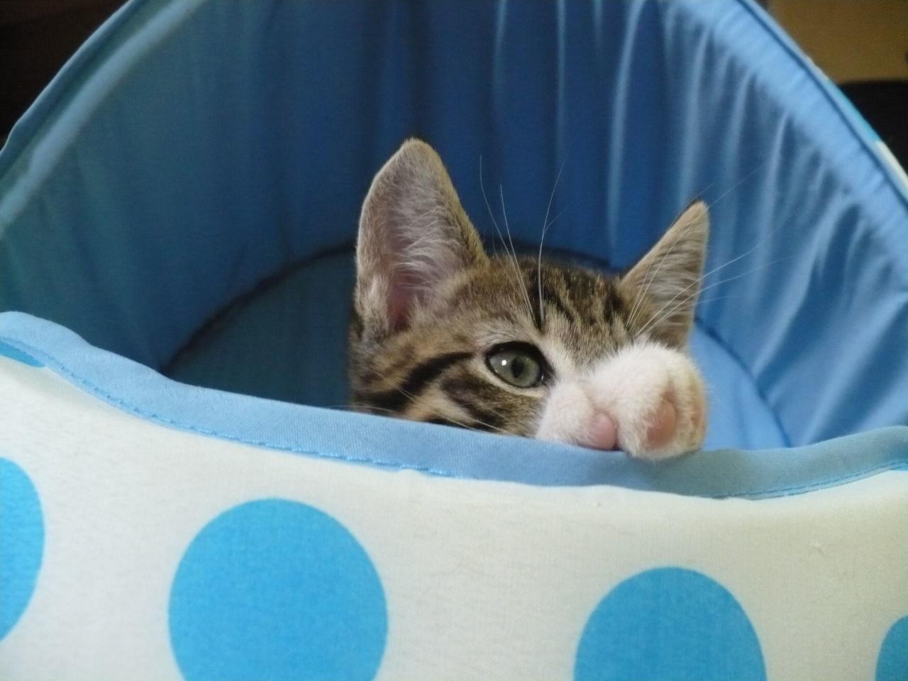 Cookie Kitten Tabbycats Cute Beautiful Kittens Kitten In Basket Playful Kitten