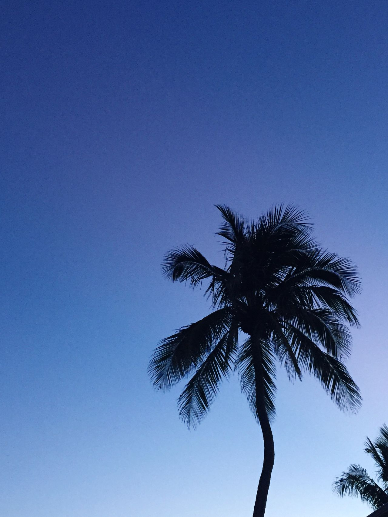 Palm Tree Tree Low Angle View Clear Sky Blue Copy Space Scenics Beauty In Nature Nature Tree Trunk Tranquility Growth No People Silhouette Summer Day Outdoors Sky crooked palm tree and blue sky Blue Sky Palm Tree Tropical Climate Tropical Backgrounds