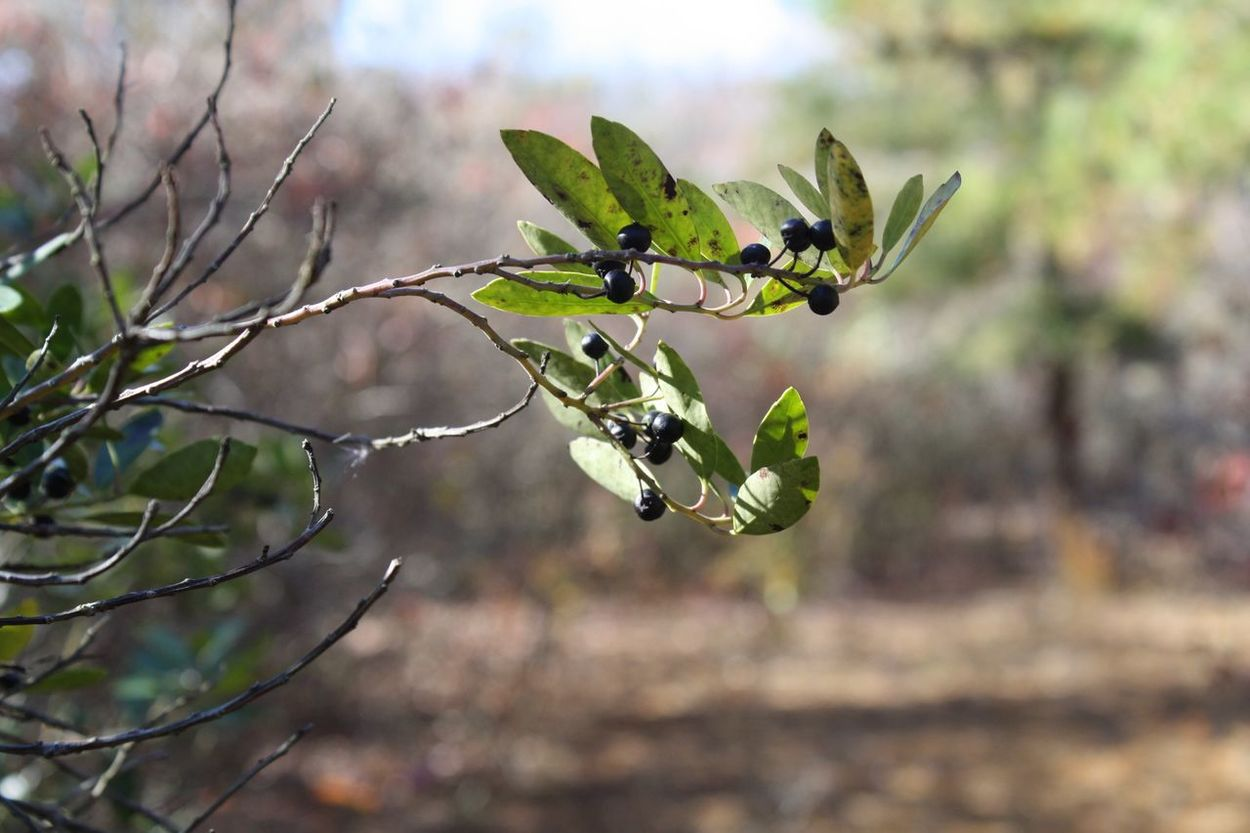 Nature Growth Plant Focus On Foreground Close-up No People Outdoors Beauty In Nature Day Freshness Animal Themes Branch Insect Blue Berry Greenleaves New Jersey Photography Canon Canonphotography AlmostChristmas Peace Thegoodlife Peaceful Love Balanced