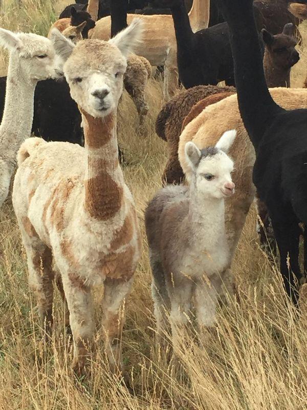 Alpaca Alpaca Haylilla Alpacas Animal Themes Young Animal Cria