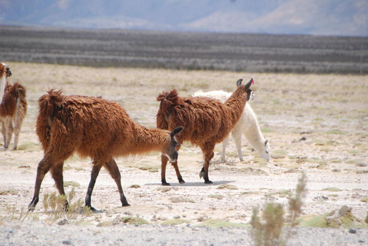 Beautiful stock photos of llama, Agriculture, Day, Grazing, Horizon Over Land