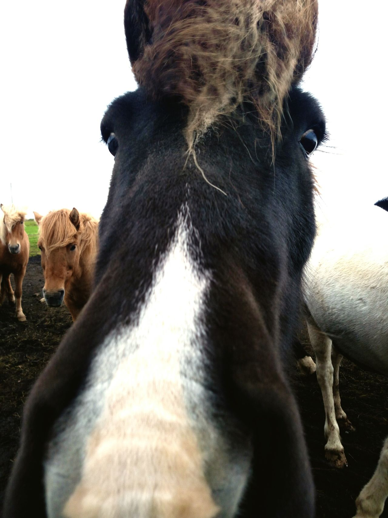 Horse Animal Themes Domestic Animals Outdoors Sky No People Islande Selfie ✌ Like Icelandtrip Iceland_collection EyeEmNewHere Selfportrait Selfies Beautiful Spirituality Tranquility Grass