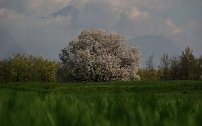 Hanami Albero Big Tree Cherry Tree Cloud - Sky Field Focus On Foreground Green Green Color Hanami Landscape Nature Outdoors Sky Tranquil Scene Tranquility Tree