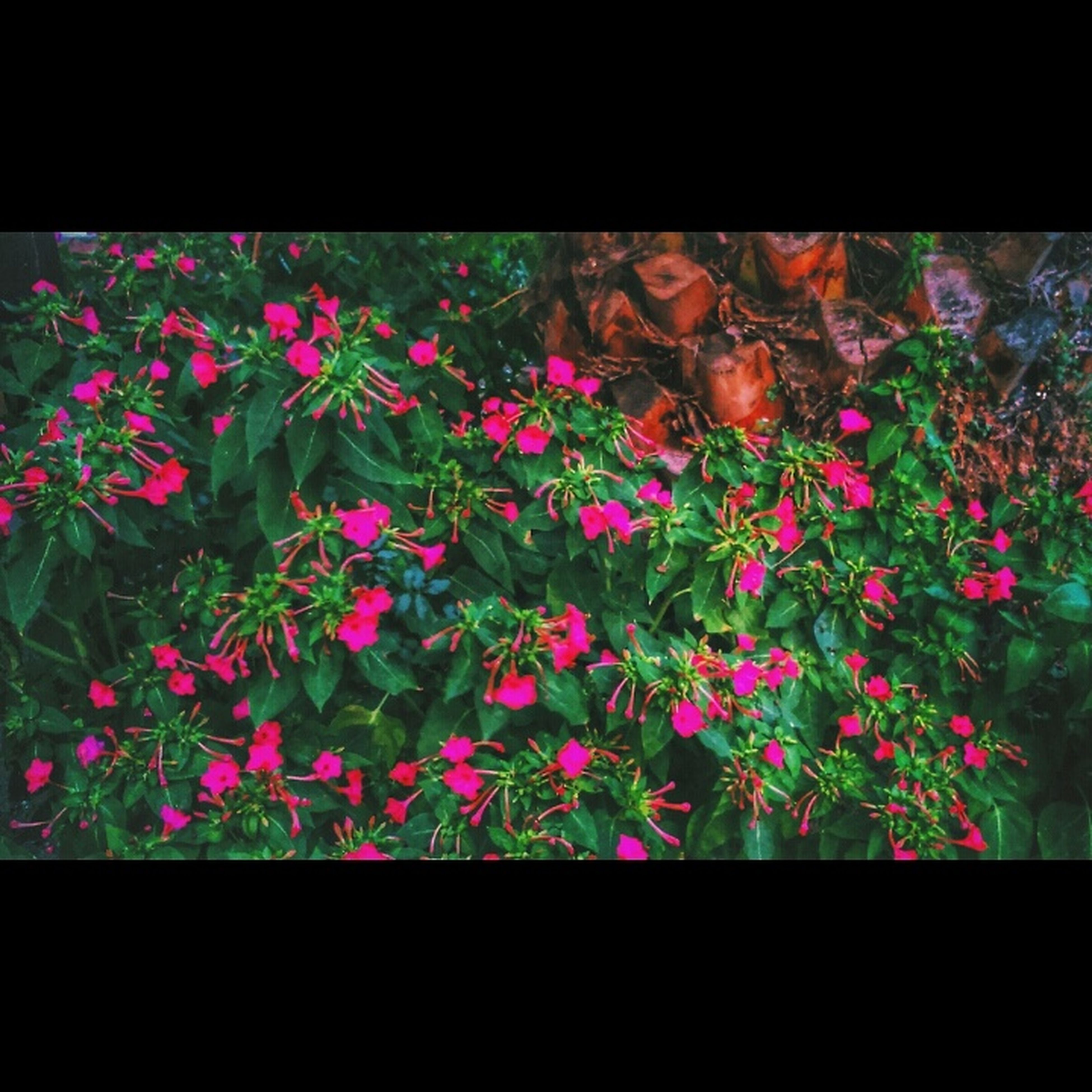 flower, transfer print, auto post production filter, growth, fragility, freshness, plant, beauty in nature, nature, petal, purple, pink color, blooming, leaf, flower head, day, close-up, botany, outdoors, in bloom