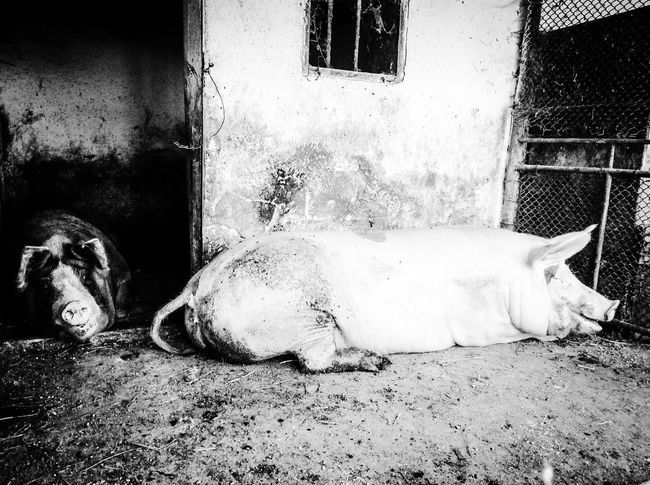 Animal Animal Head  Animal Themes Day Domestic Animals Laziness Lying Down Mammal Napping No People One Animal Outdoors Pets Pig Pigs Relaxation Resting Side View Sleeping Surface Level Tired Village Zoology