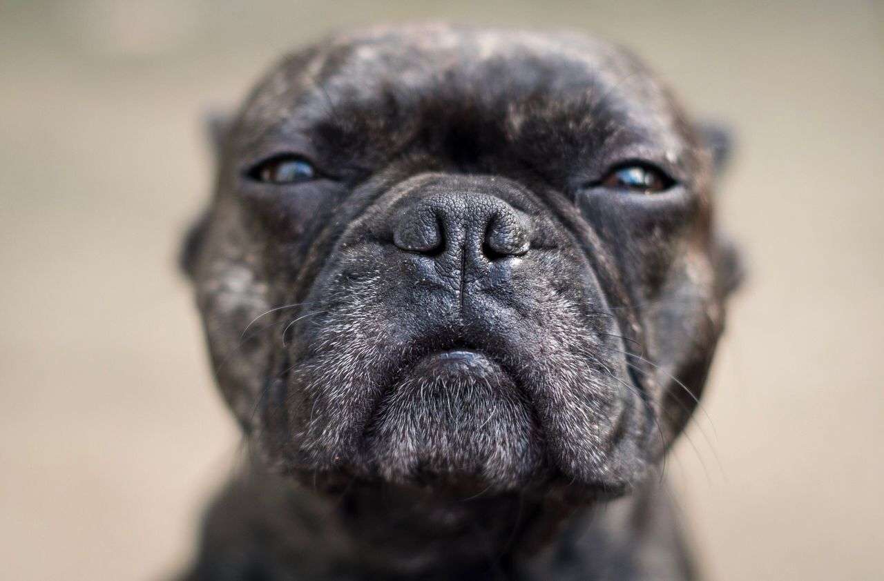 Serious look One Animal Animal Themes Mammal Dog Close-up Pets No People Domestic Animals Portrait Day Outdoors Pug Frenchbulldog Dog Portrait Dogs Of EyeEm Dog Love Pets Corner Pet Photography  Looking At Camera