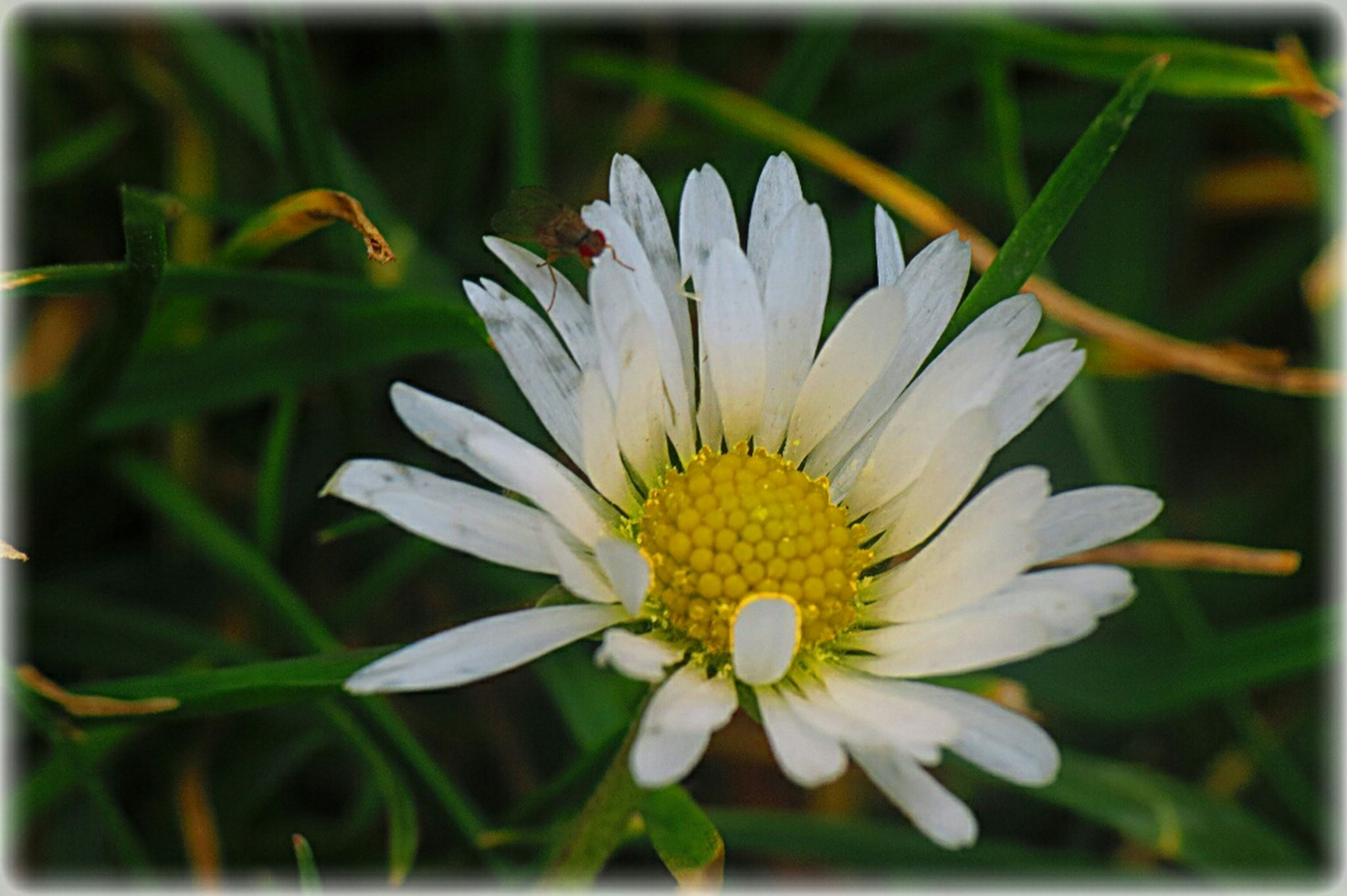 flower, petal, flower head, freshness, fragility, transfer print, growth, close-up, beauty in nature, white color, pollen, blooming, single flower, focus on foreground, auto post production filter, nature, plant, yellow, daisy, in bloom